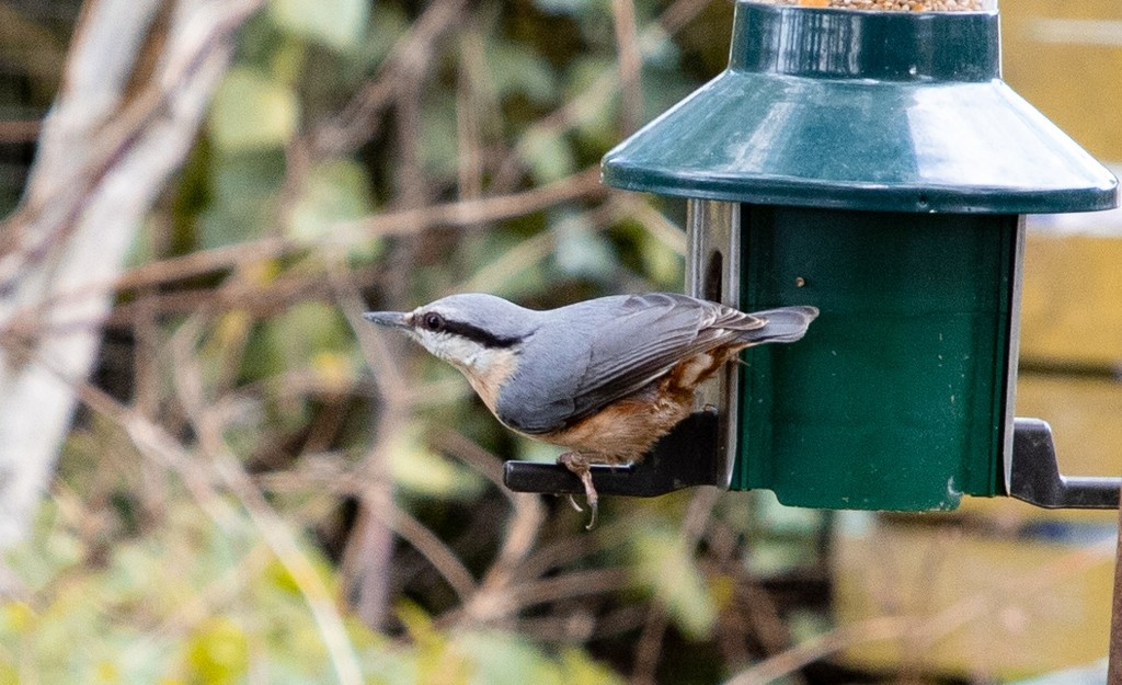 Nuthatch by lifeat60degrees