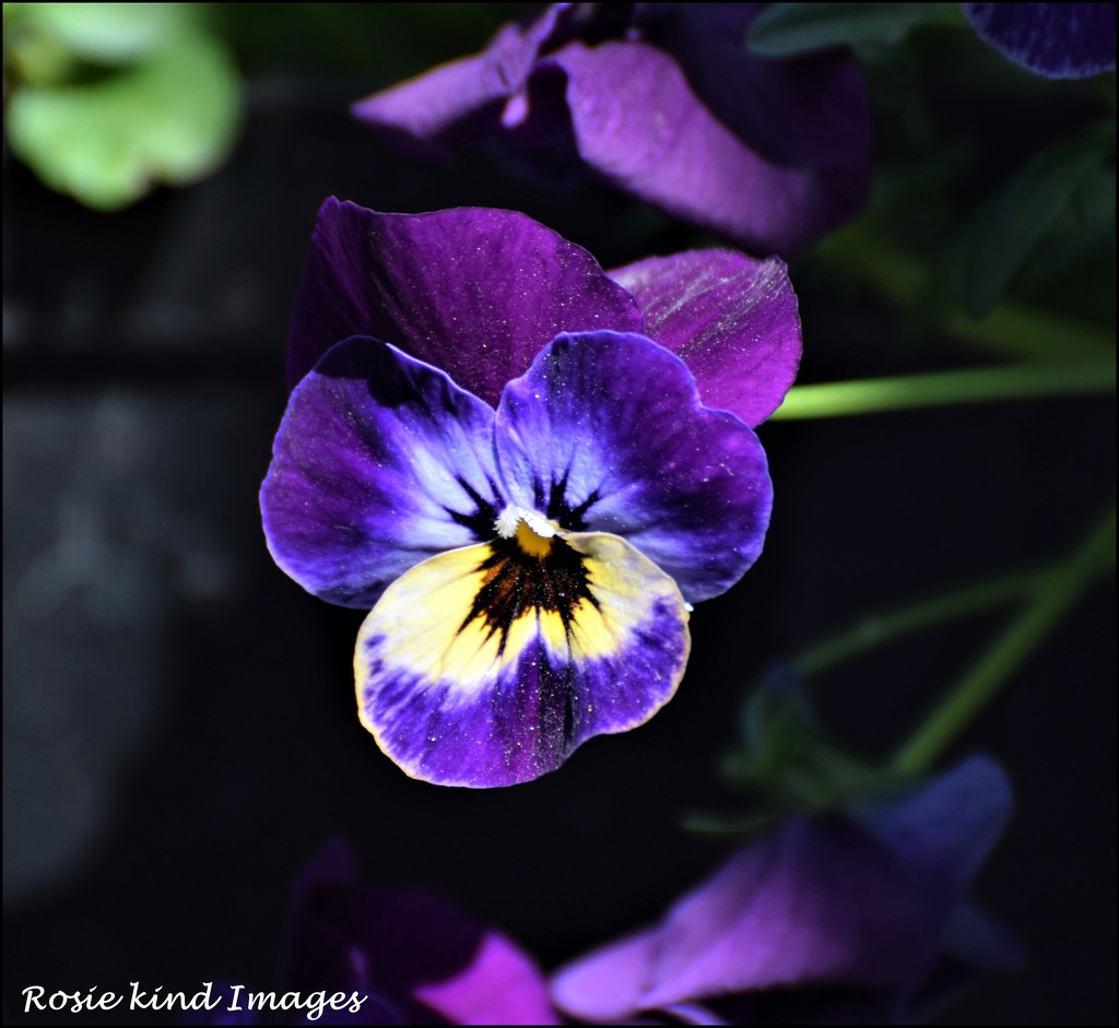Pansy by rosiekind