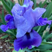 25th Apr 2019 - Blue Iris