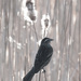 Female Red-winged Blackbird with Cattails