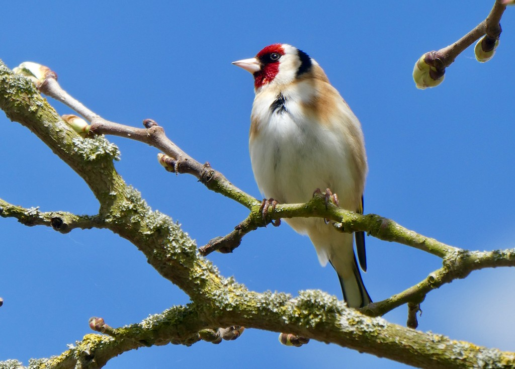 Friendly goldfinch by orchid99