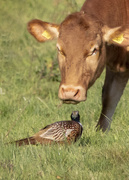 25th Apr 2019 - COW AND PHEASANT