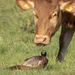 COW AND PHEASANT