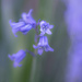 Bluebell haze by inthecloud5