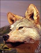 25th Apr 2019 - Wolf