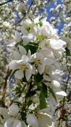 25th Apr 2019 - Creamy Blossoms