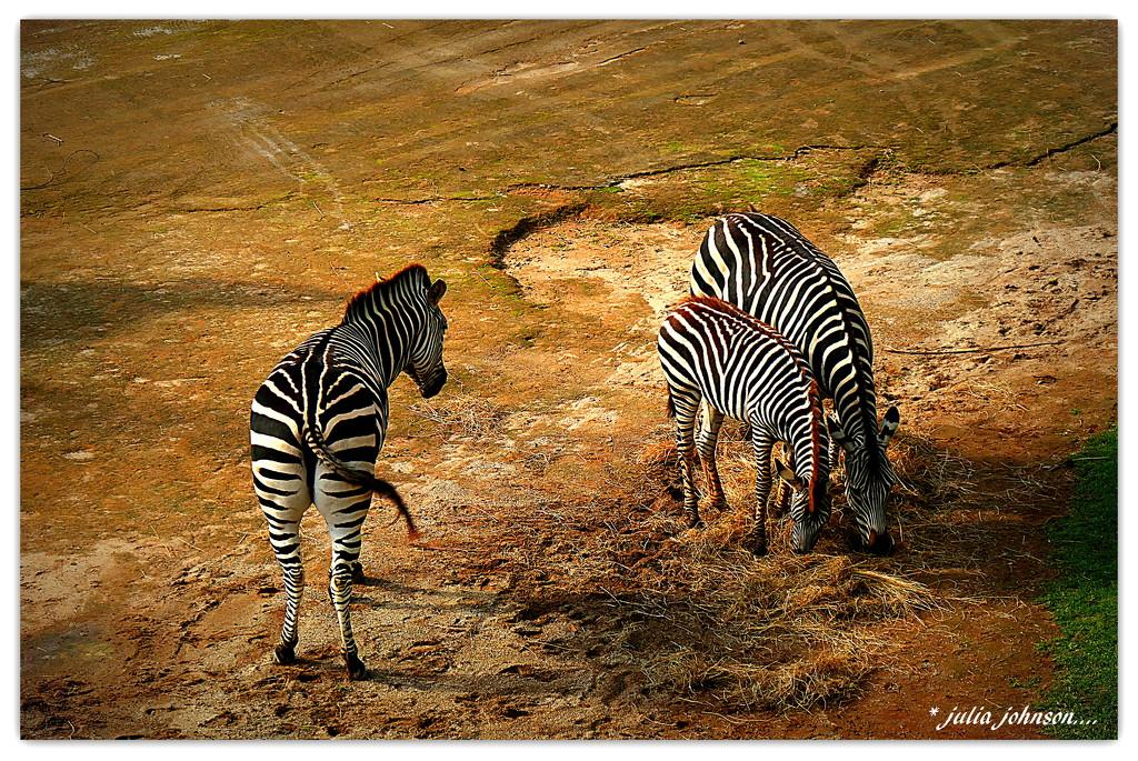Zebra Trio... by julzmaioro