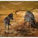 Zebra Trio...
