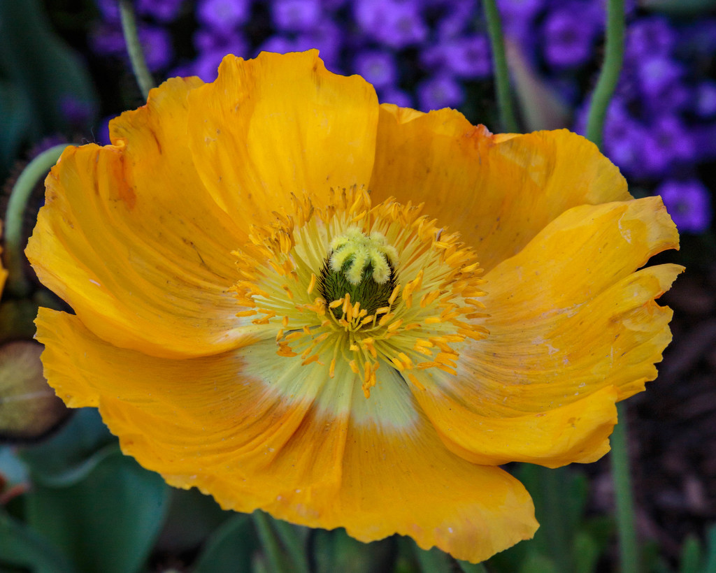 Yellow poppy explosion by lindasees