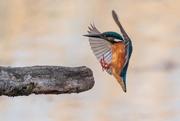 25th Apr 2019 - Kingfisher landing