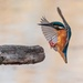 Kingfisher landing by padlock