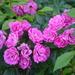 Roses, the gardens at Hampton Park
