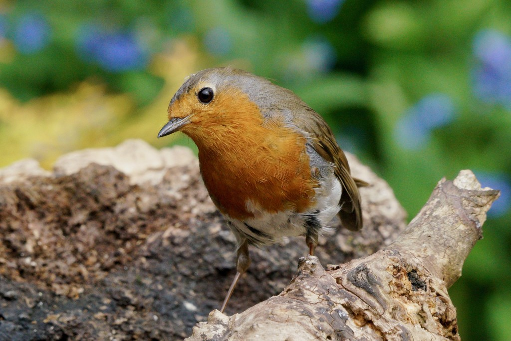 CURIOUS ROBIN by markp