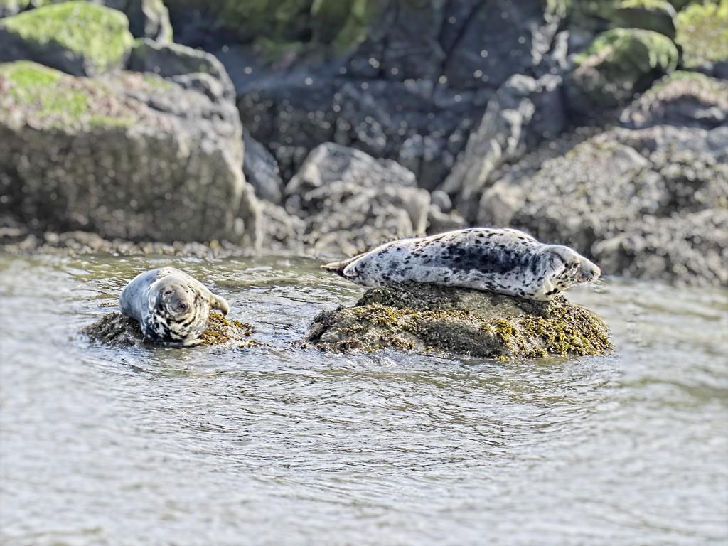 Basking Seals by billyboy