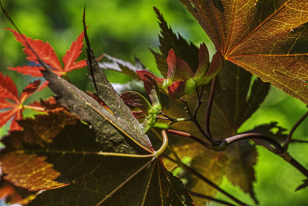 Red Maple Seed Pods by kvphoto