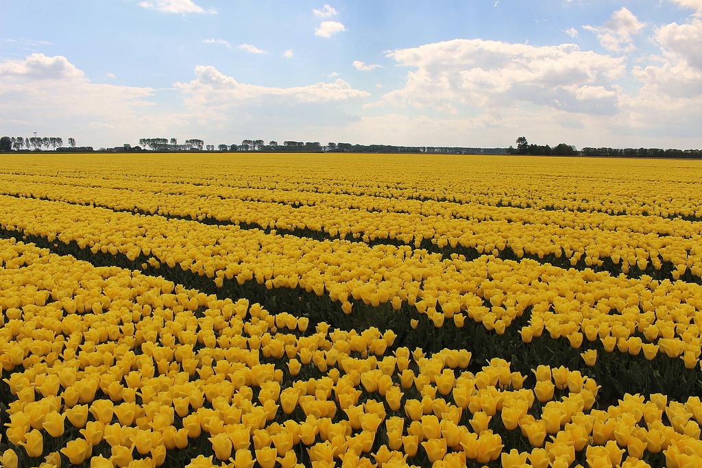 Dutch pride. by pyrrhula