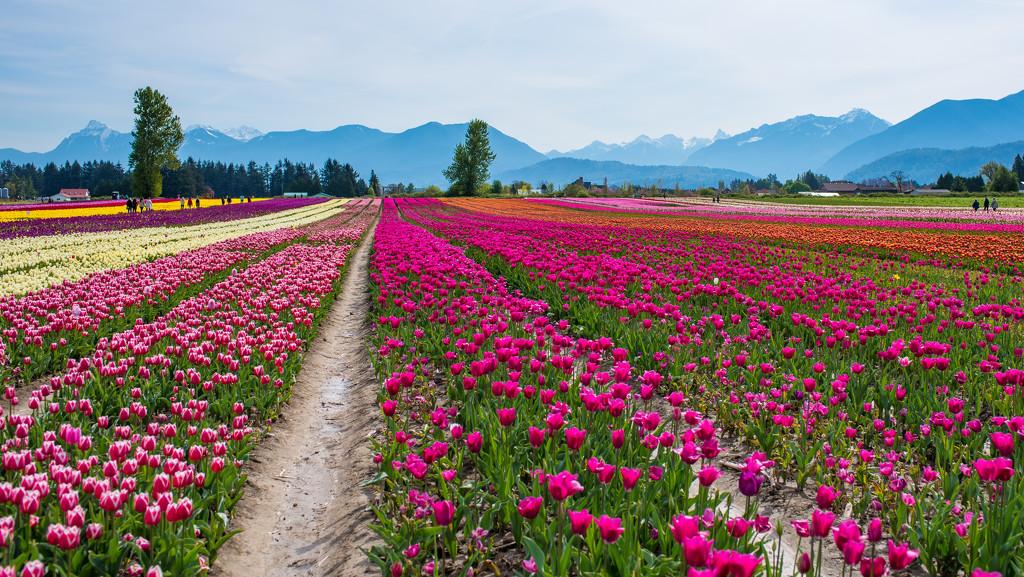 Chilliwack Tulips by kwind