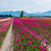 Chilliwack Tulips by kwind
