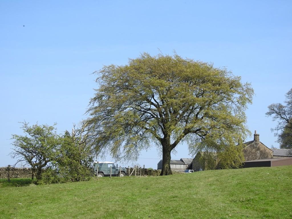Beech tree by roachling
