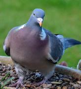 27th Apr 2019 - Pigeon
