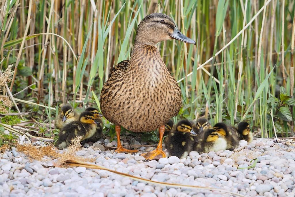 One busy mummy duck, 14 ducklings!! by bizziebeeme