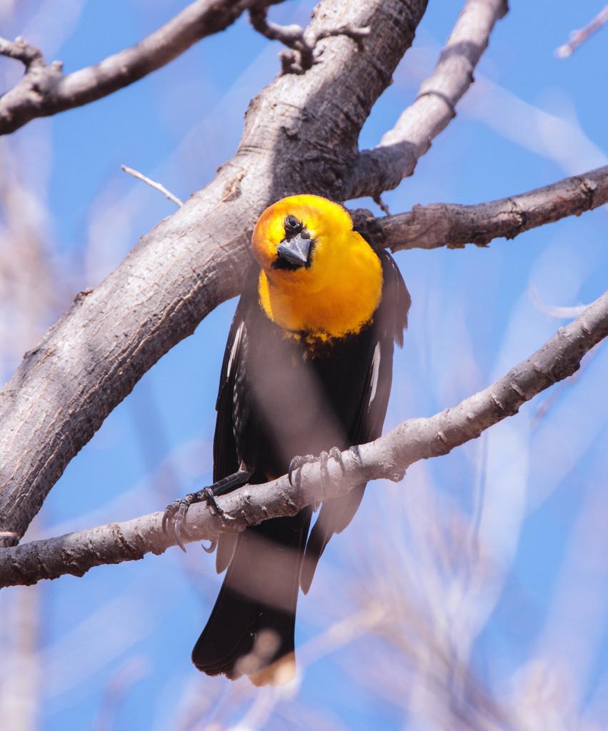 yellow-headed blackbird by aecasey