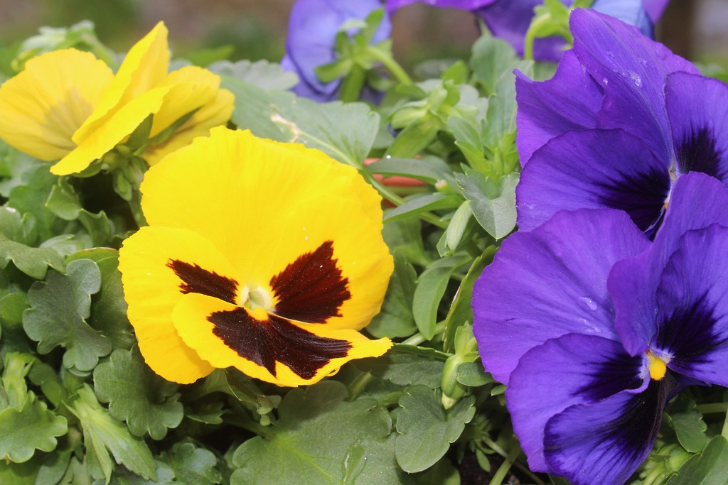 Pansy Faces by essiesue