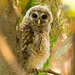 Baby Barred Owl Keeping an Eye on Me! by rickster549