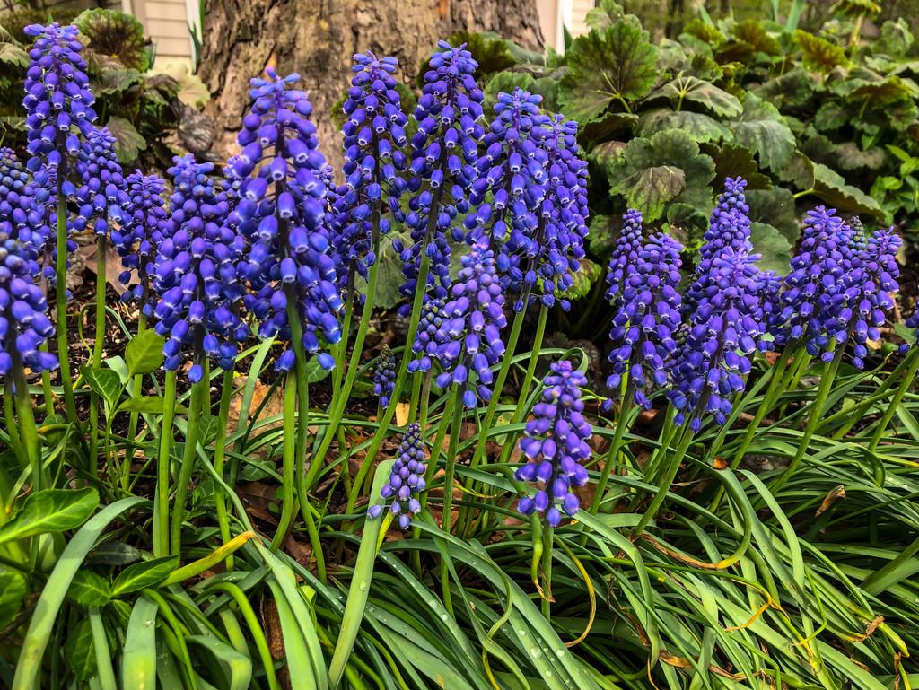 Grape Hyacinth by loweygrace