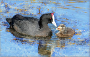 28th Apr 2019 - Red Knobbed Coot