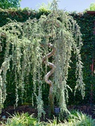 28th Apr 2019 - The Weeping Blue Atlas Cedar