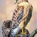 The Hawk Returns by skipt07