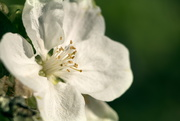 28th Apr 2019 - Apple Blossom