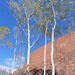 River Red Gums at Uluru by judithdeacon