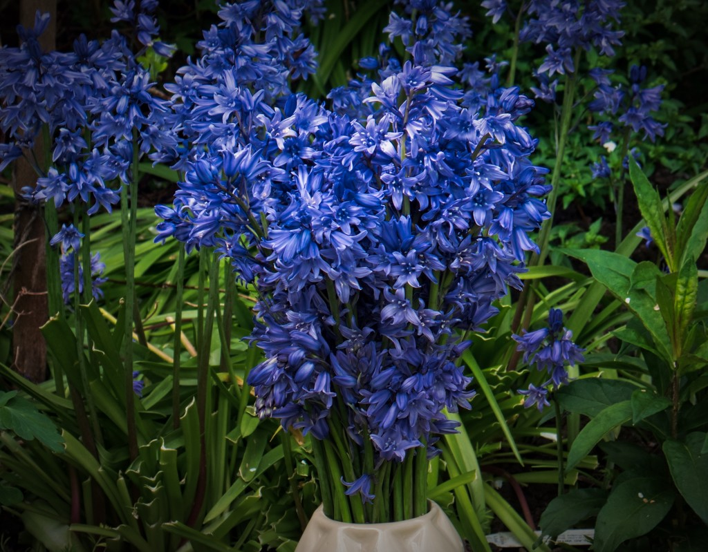 Bluebells. by tonygig