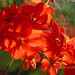 Geraniums in the sunlight .... by snowy