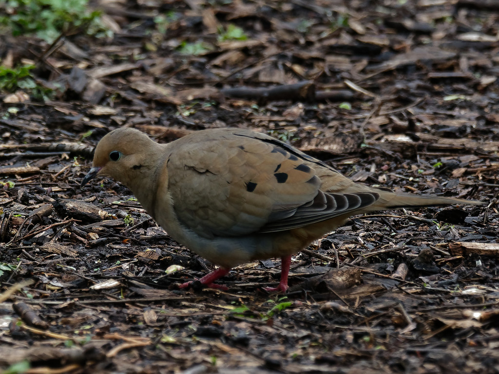 mourning dove on the pathway by rminer