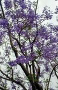 29th Apr 2019 - Purple Blossoms