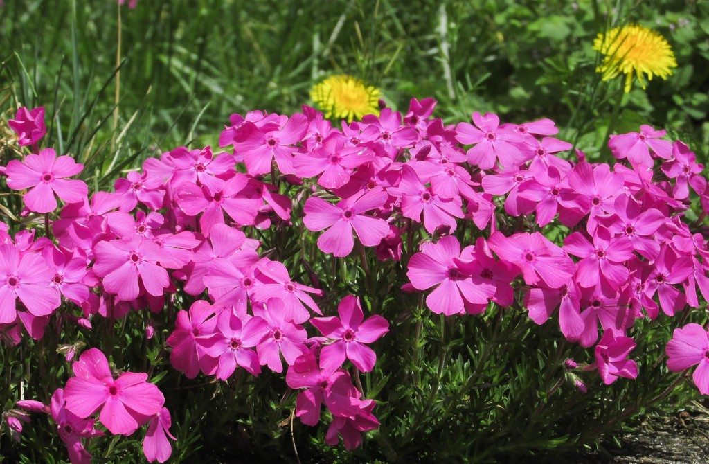Phlox is in bloom by mittens