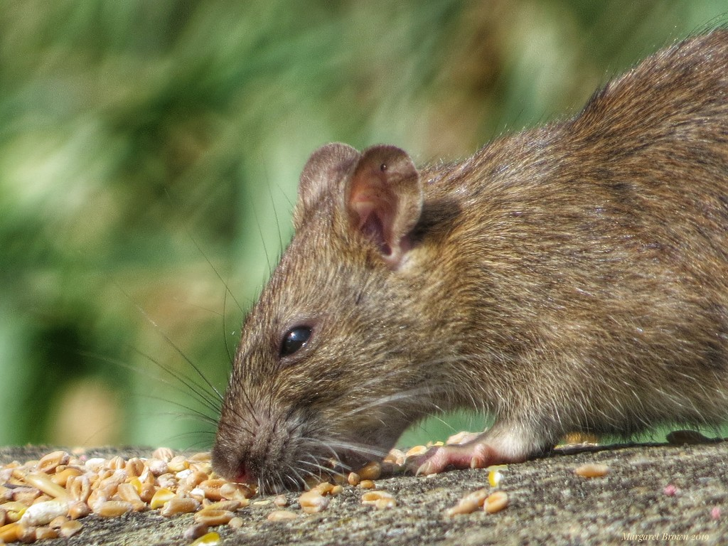 Rat by craftymeg