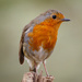 2019 04 25 - Robin by pixiemac