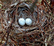 30th Apr 2019 - Eggs in a nest