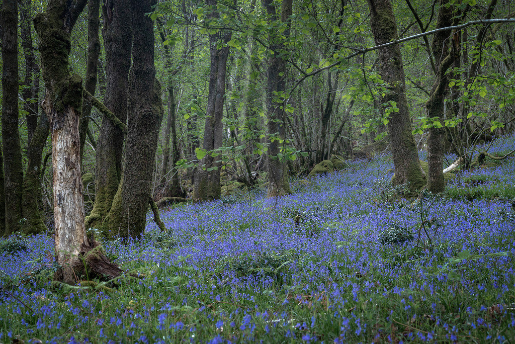 Bluebell Woods by ellida