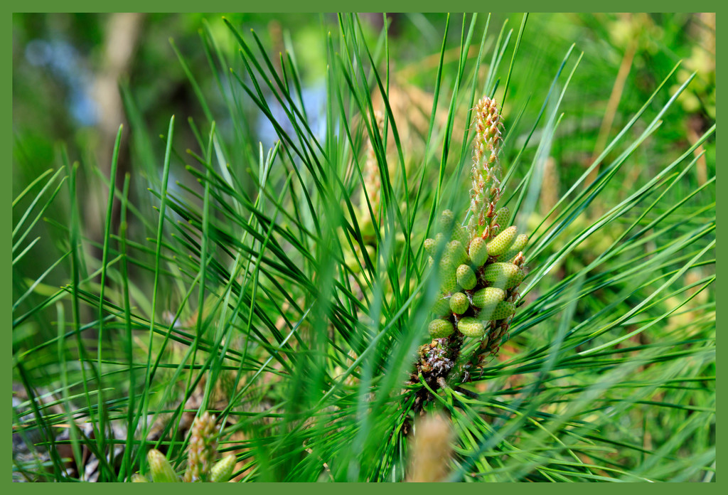 Growth of a Pine Cone by hjbenson