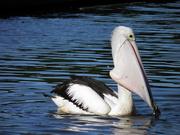 29th Apr 2019 - Pelican having breakfast