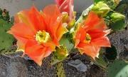 30th Apr 2019 - Prickly Pear Cactus Flower