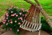 1st May 2019 - Max's Briar Roses and wood slat chair