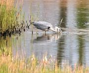 1st May 2019 - Grey heron..........