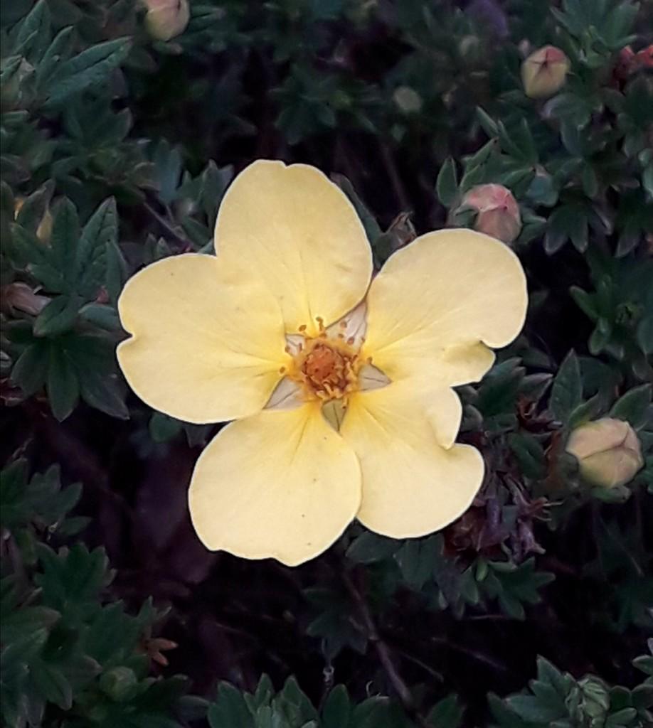 Potentilla Primrose Beauty by mave