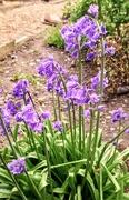 24th Apr 2019 - Garden bluebells